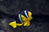 Clown Fish - Sharjah Aquarium
