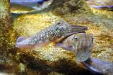 Cuttlefish, Sharjah Aquarium