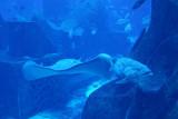 Ray in the Atlantis aquarium