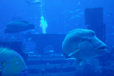 Napoleonfish, Atlantis, the Palm