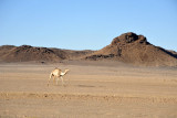 sesibi dead camel highway.jpg