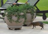 Wildlife at Hotel das Cataratas - an Agouti