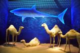 Camels & sharks - Somalia