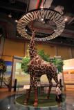Giraffe - Tanzania