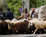 Sheep headed for a grim future, Shiraz