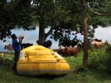 The raft and cows