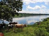 Cows grazing above the Nile at the take out point