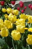 Tulips, Topkapi Palace
