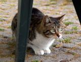 Topkapi Cat