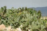 Prickly pear cactus, Tunisia