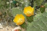 Prickly pear cactus in bloom, Tunisia