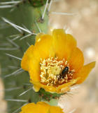 Prickly pear flower and bug