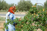 We stopped at an orchard along the road from Kairouan to Sbeitla to get fresh apricots
