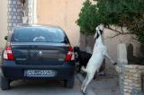 Goat munching on a tree in Nefta