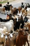 Herd of goats, Tunisia