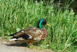 Duck, Maihaugen