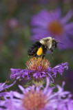 Bumble leaving Aster
