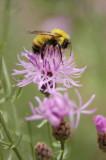 Bumble bee on Knapweed