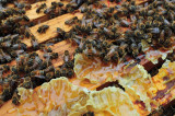 Bees gleaning hone from broken burr comb