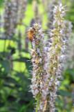 L.V.B.A. Honey Harvest 2010