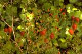 chiltepin bush