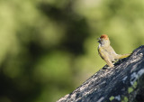 Singing Green-tailed Towhee July 2008.jpg