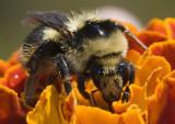 Sierra Bumblebee on a Marigold