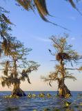 Osprey and nest Cypress with blowing moss - Lake Istokpoga
