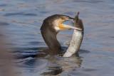 Cormorant - Diving & Fishing
