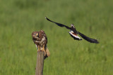 Northern Lapwing - Defending