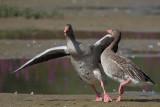 Greylag Goose - Fighting