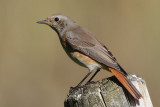 Common Redstart, male 1Y