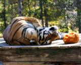 punkin tiger.jpg