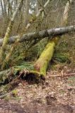 The fallen tree knocked over another