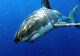 great_white_sharks__of_guadalupe