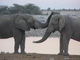 Etosha elephants in love