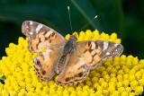 True Butterflies