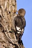 Red-headed Woodpecker (juvenile)