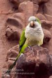 Monk (Quaker) Parakeet