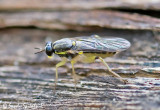 Xylomyid Fly
