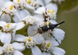 Fruit Fly/Knapweed Seedhead Fly  (female)