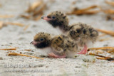 Common Tern (chick)