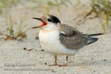 Common Tern (juvenile)
