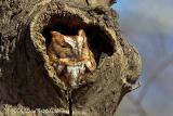 Eastern Screech-Owl (red morph)