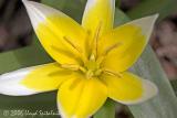 Dasystemon Tulip