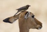 impala and red-billed oxpecker  Aepyceros melampus and Buphagus erythrorhynchus