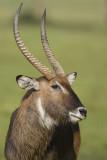 Defassa waterbuck  waterbok  Kobus ellipsiprymnus
