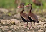 black-bellied whistling duck  Dendrocygna autumnalis