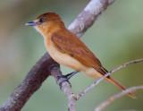 cinnamon becard  Pachyramphus cinnamomeus