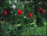 Wild roses in park